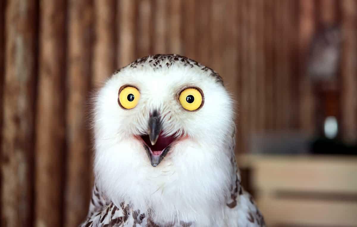 owl looking shocked
